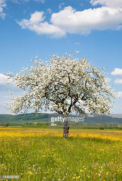 Blooming Single Apple Tree on Meadow in Spring