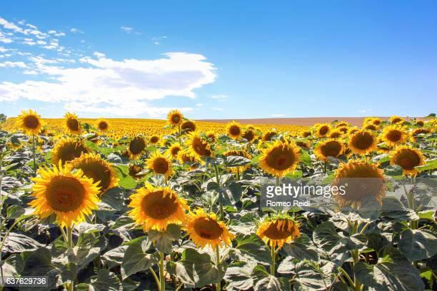Blooming sunflower field in summer