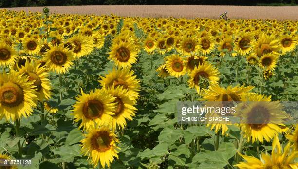Blooming sunflowers stands at the field near the small Bavarian village of Wiedenzhausen southern Germany during a summery weather day with...