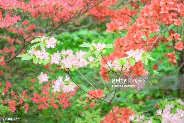 Blooming tree in Azalea Woods, Winterthur, Delaware, USA