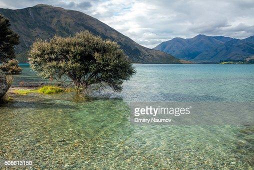 Blooming tree on a shore of Lake Wanaka in New Zealand : Stock Photo