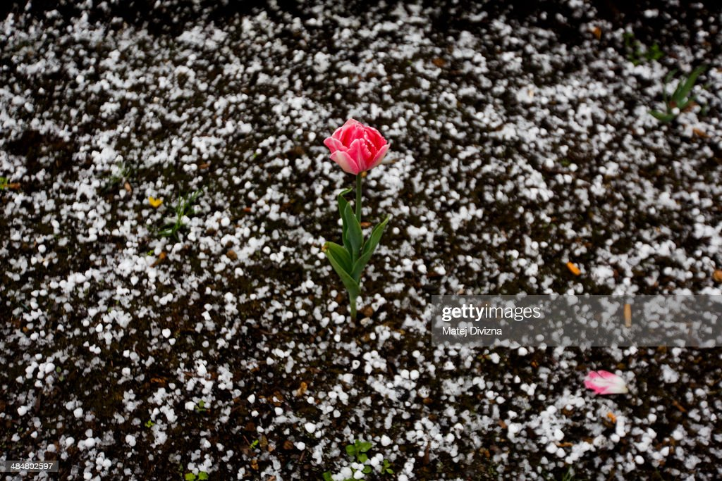 A blooming tulip is surrounded by hail after a hail shower at the Old Town Square on April 14, 2014 in Prague, Czech Republic.