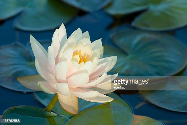 Blooming water lily amongst lily pads on a lake