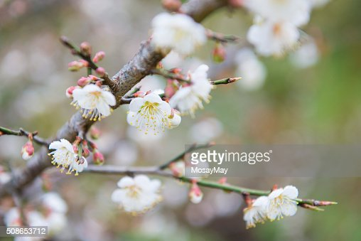blooming white plum blossom on a branch : Stock Photo