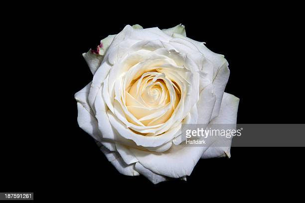 A blooming white rose head on a black background