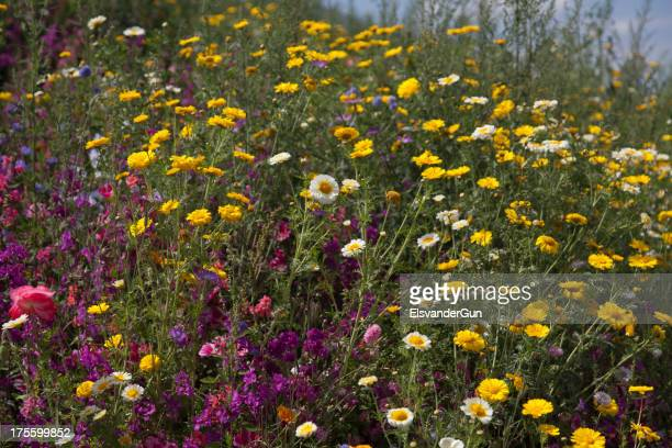 blooming wild flower field