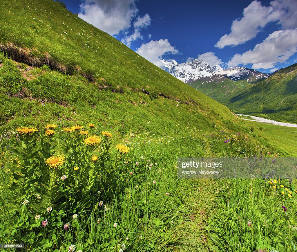 Blooming yellow flowers in the mountain : Stock Photo