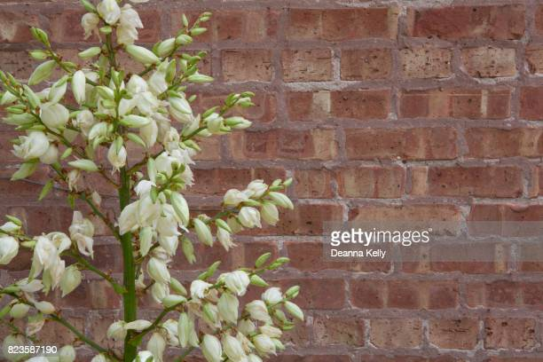 Blooming Yucca Flowers With Brick Background