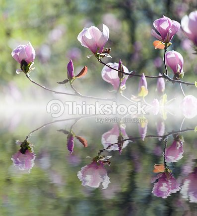 Bloomy magnolia tree with big pink flowers reflected in water stock bloomy magnolia tree with big pink flowers reflected in water stock photo mightylinksfo