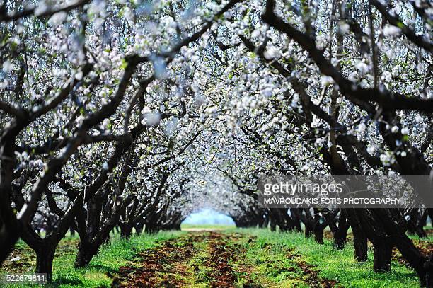 Blossom almond trees
