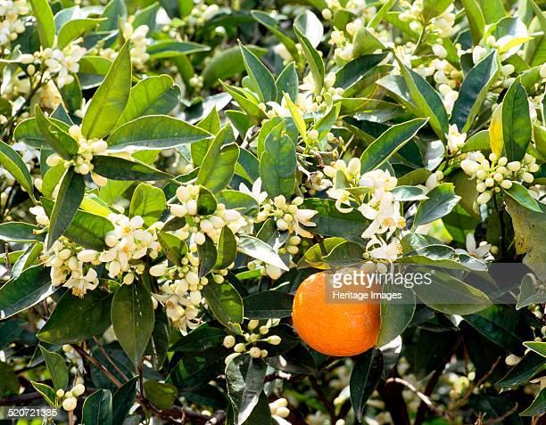 Blossom and fruit on an orange tree Majorca Spain