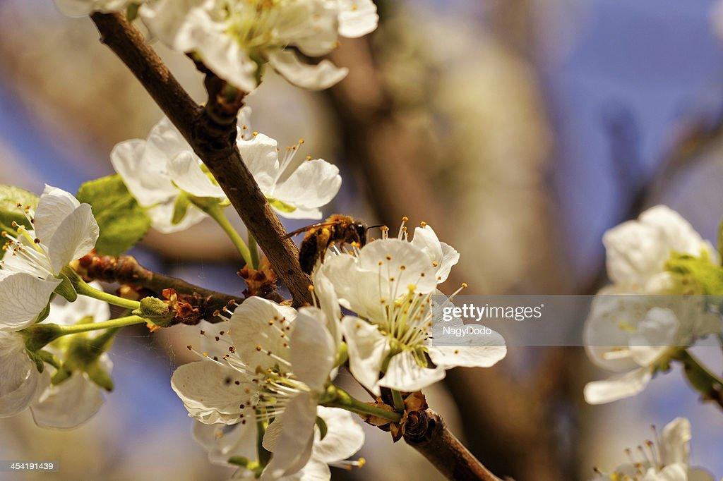 Abeja en flor de cerezo : Foto de stock