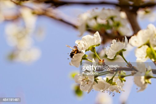 blossom cherry tree with bee : Stock Photo