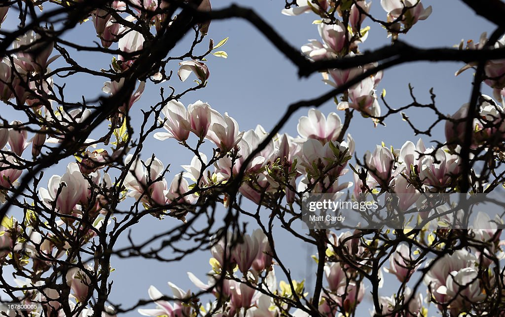 Blossom is seen on trees in Royal Victoria Park on April 30, 2013 in Bath, England. After one of the coldest winters on record and a later than normal start to spring, many parts of the UK are finally enjoying warmer temperatures and sunnier spells.