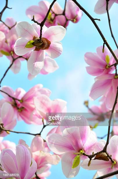Blossom magnolia flowers