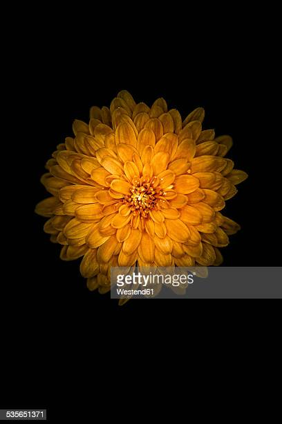 Blossom of orange dahlia, Dahlia, on black background