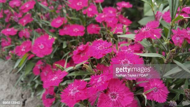 Blossom of pink flowers