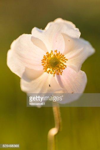 Blossom of snowdrop anemone, Anemone sylvestris, at sunlight
