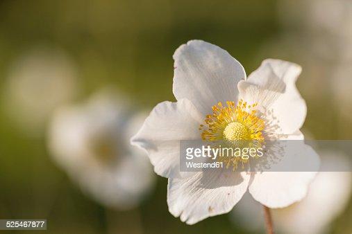 Blossom of snowdrop anemone, Anemone sylvestris