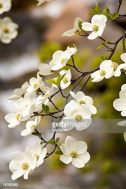Blossom on dogwood tree, close-up