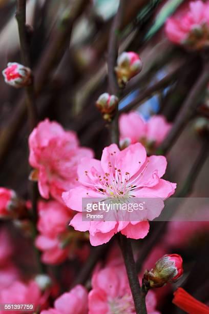 Blossom peach flower