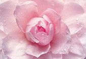 blossom, petal, pink, plant, camellia, close-up