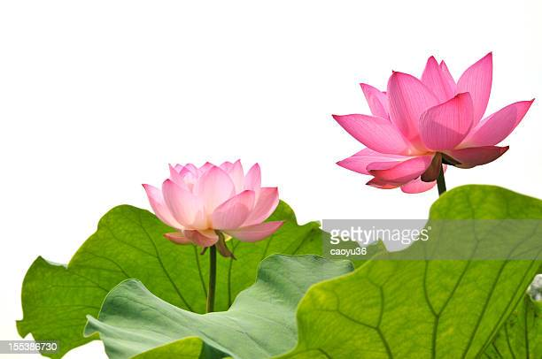 Blossom pink lotus flower