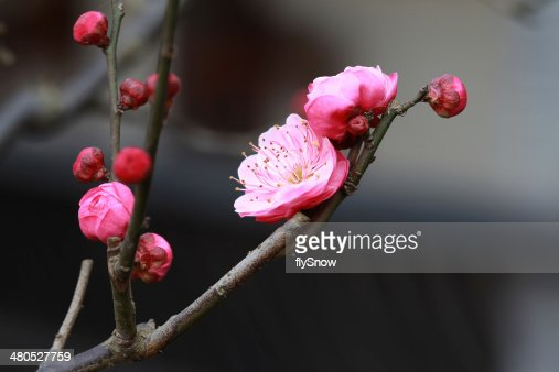 Plum Blossom  ?? : Stock Photo
