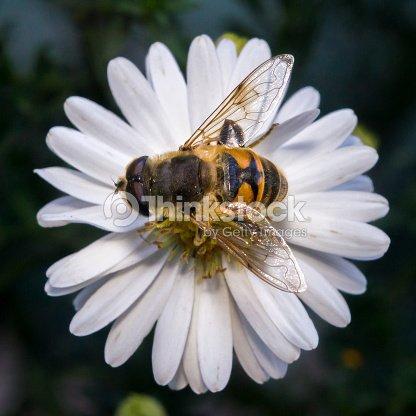 flor blanca flor con abeja en el jardín en primavera verano con brillo de  sol   a597651ddb7