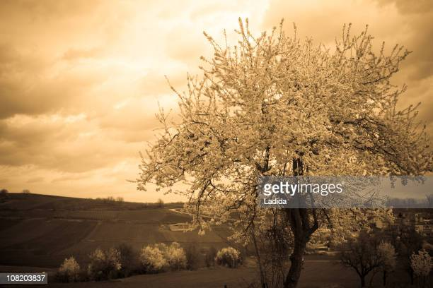 Blossomed Tree on Hill