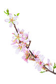 Blossoming Almond branch isolated on white background