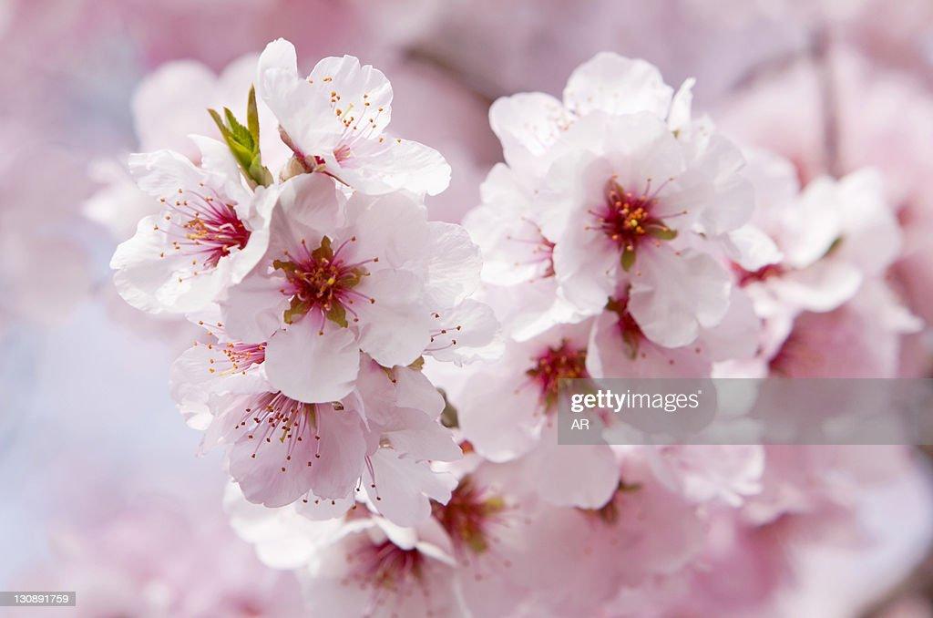 Blossoming Almond (Prunus dulcis) tree branch, Southern Wine Route, Southern Palatinate, Pfalz, Rhineland-Palatinate, Germany, Europe : Stock Photo