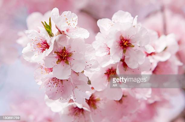 Blossoming Almond (Prunus dulcis) tree branch, Southern Wine Route, Southern Palatinate, Pfalz, Rhineland-Palatinate, Germany, Europe