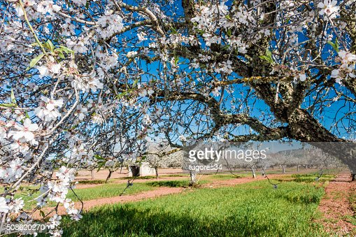 blossoming almond tree : Stock Photo