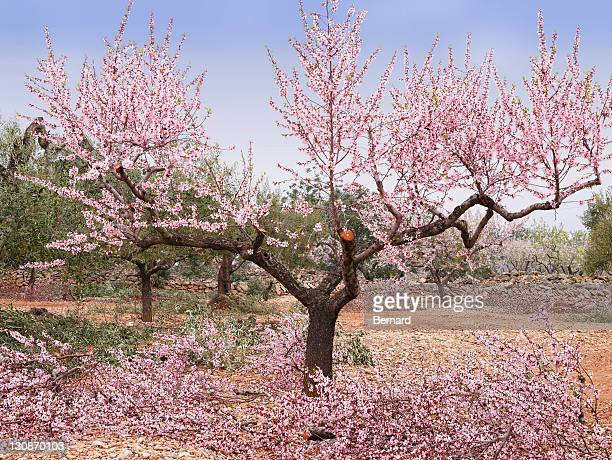 Blossoming almond trees on the Costa Dorado, Spain, Europe