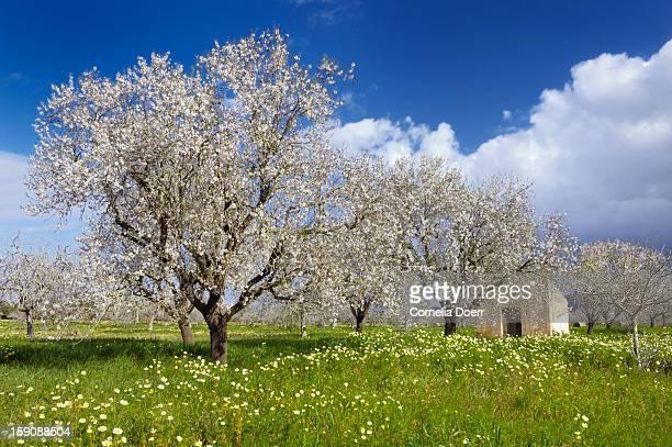 Blossoming almond trees, (Prunus triloba)
