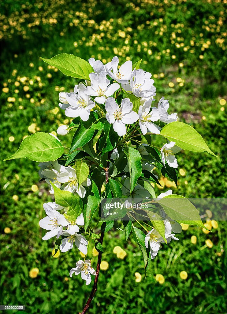 Blossoming apple tree : Stock Photo