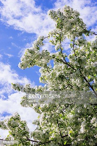 Blossoming apple tree : Stock Photo