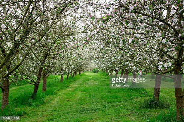 Blossoming apple trees in Calvados orchard
