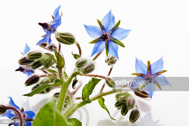 Blossoming borage in front of white ground