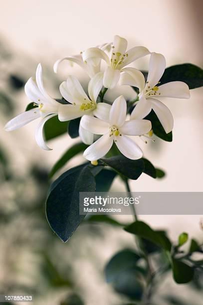 Blossoming Branch of Orange Jasmine Houseplant