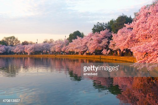 Blossoming cherry trees at dawn around Tidal Basin, Washington DC. : Stock Photo