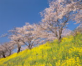 Blossoming cherry trees on a yellow hillside field of rapeseed