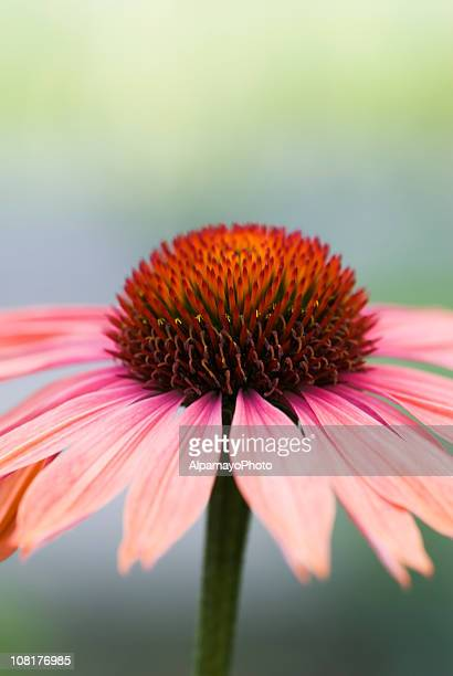 Eveil Échinacée fleur