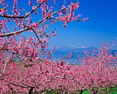 Blossoming fruit tree