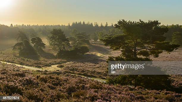 Blossoming Heather plants in a nature reserve during sunrise