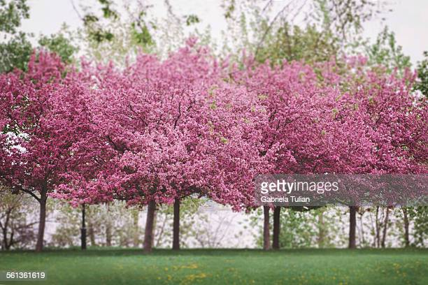 Blossoming large cherry trees