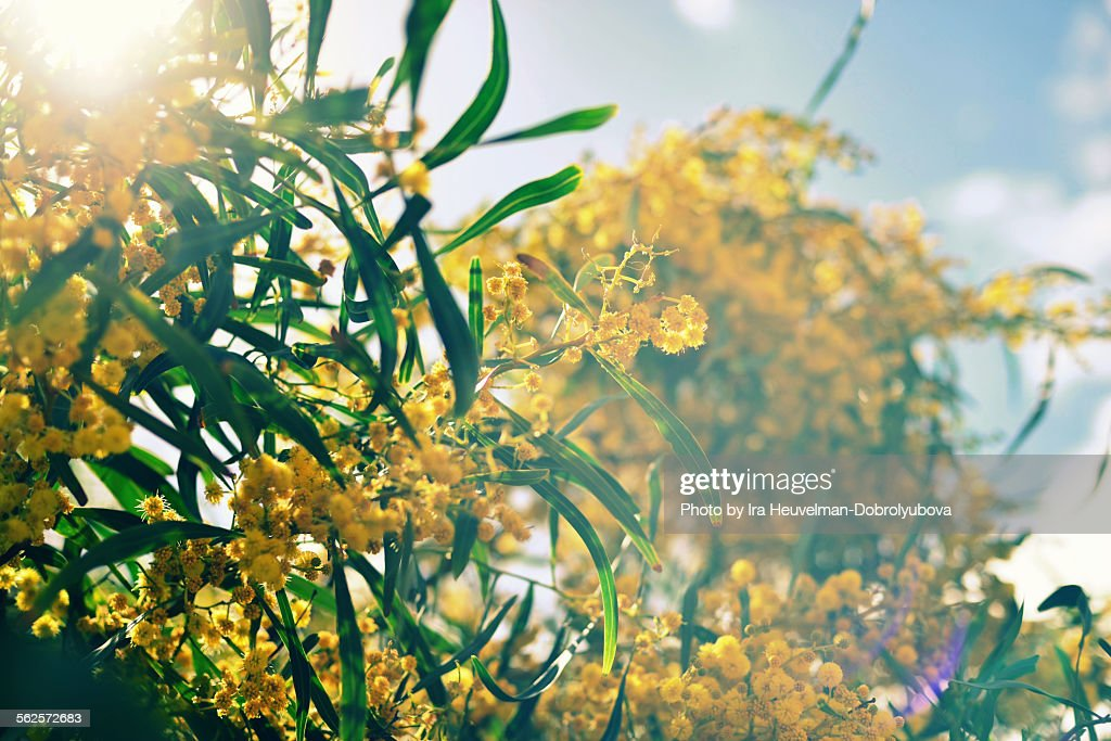 Blossoming mimosa tree