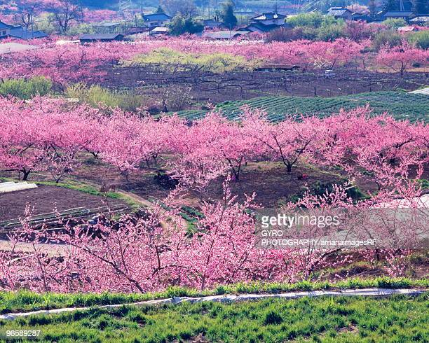 Blossoming peach trees in an orchard,  Yamanashi Prefecture,  Japan