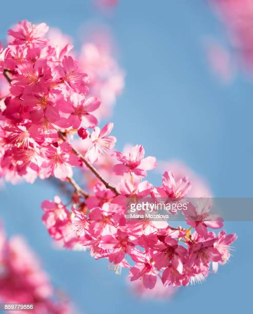 Blossoming Pink Crabapple Tree, Blue Sky